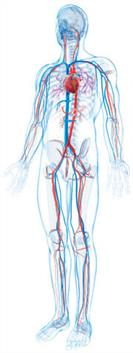 graphic of human body vascular system
