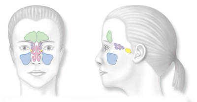 Sinuses Illustration